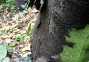 Pilzbefallene Ahornbäume werden gefällt. Infos zur Gesundheitsgefährdung.